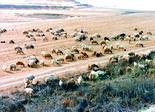 הקונה גילה כי רק חלק קטן מהכבשים היו בהיריון