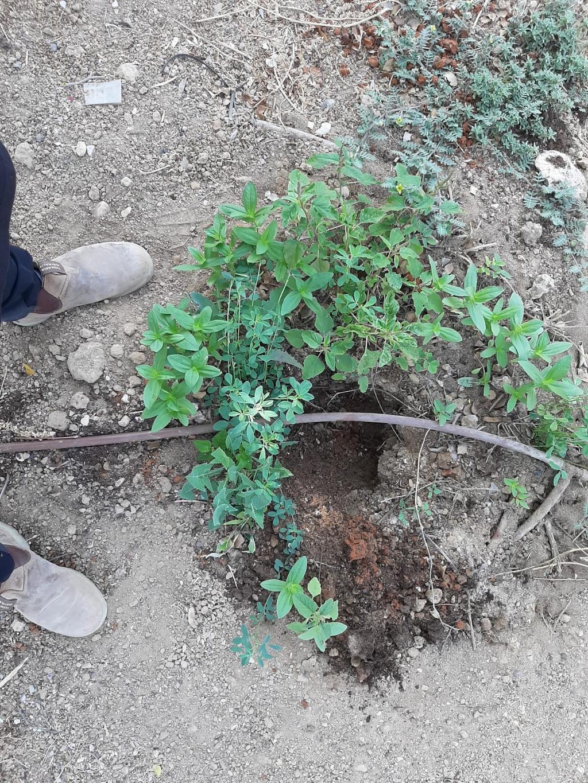אחד השתילים שנגנבו | צילום: נעם אדלשטיין